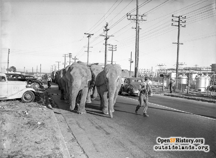 Circus Elephants being led up Geneva Avenue to Cow Palace.