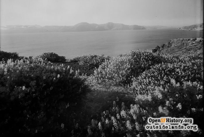 Lands End wildflowers with Marin Headlands and Golden Gate in distance, circa 1910.
