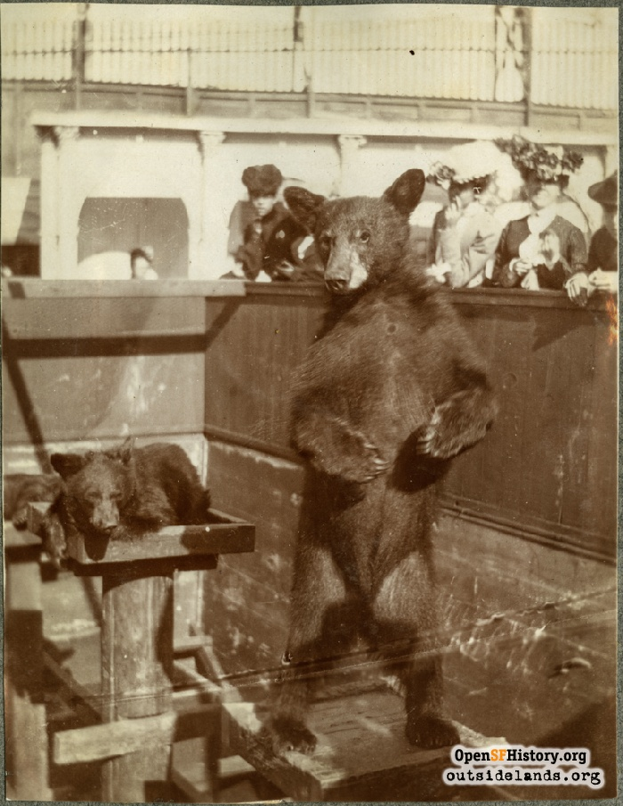 Bear cubs in zoo at Haight Street Chutes, circa 1901.